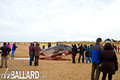 Beached Sperm Whale, Hunstanton