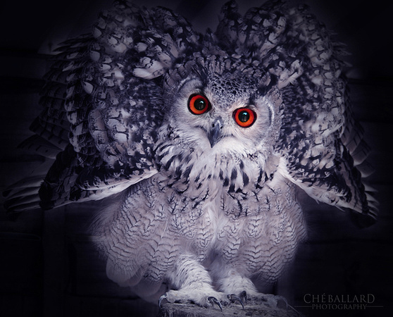 Wildlife Photograph of Eagle Owl